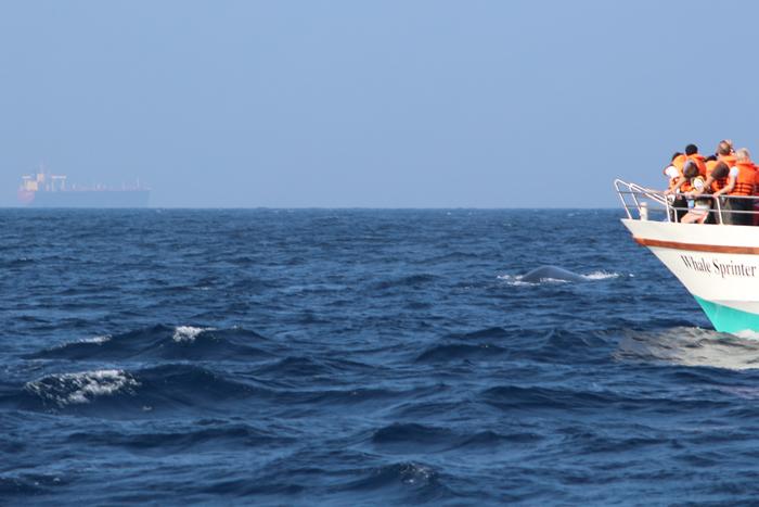 Blauwal - Walbeobachtung in Mirissa