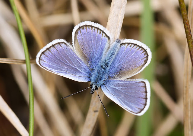 Silver-studded Blue - North Wales