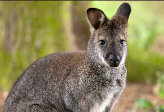 what does a wallaby look like