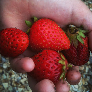 gardening, strawberry pests, life on pig row