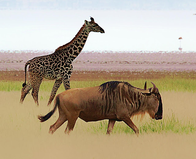 How does the loss of a wildebeest migration also harm giraffes?