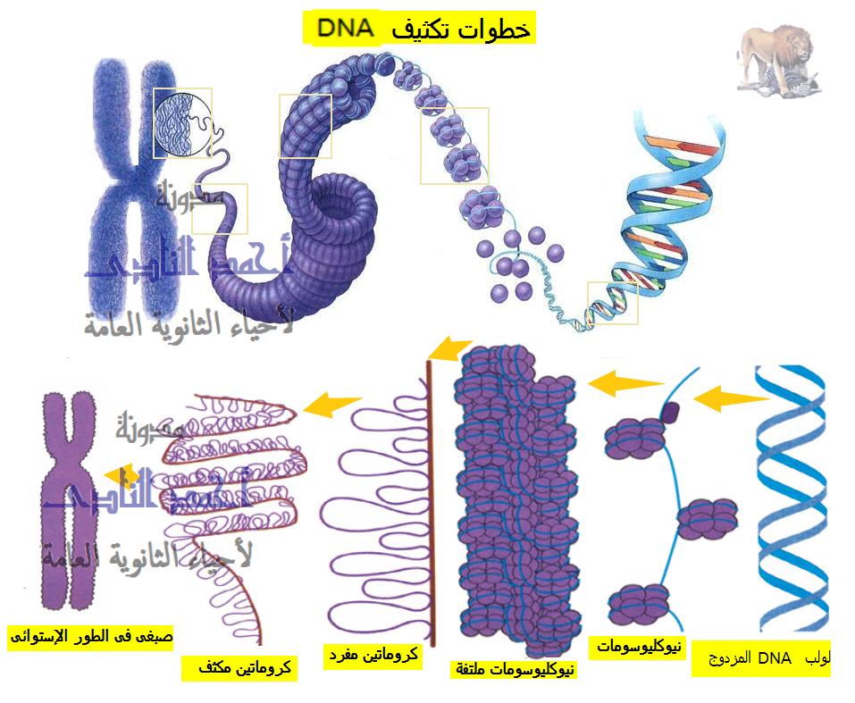 تكثيف الحمض النووى ديؤكسى ريبوز  - dna condensation
