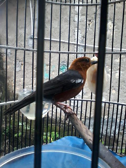 Anis merah mempunyai beberapa jenis nama sebutan yang bermacam-macam contohnya punglor merah Ciri-ciri Membedakan Burung Anis Merah Jantan dan Betina