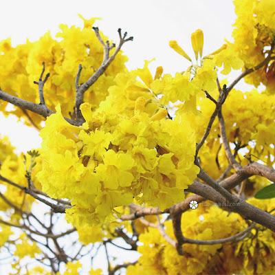 ดอกเหลืองปรีดียาธร (ตาเบบูญ่า)