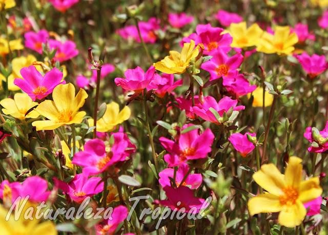 Fotografía de la floración típica de la planta suculenta Portulaca umbraticola