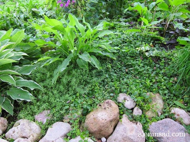 очитки, седумы, sedum, вербейник монетчатый, lysimachia nummularia, почвопокровные растения, виола, лобелия, мульча, мульчирование, примула мелкозубчатая, камни, земклуника, хосты, лук, шнитт