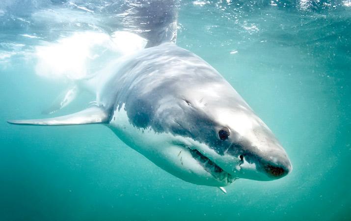 Hiu Putih, Spesies Hiu Paling Berbahaya di Dunia