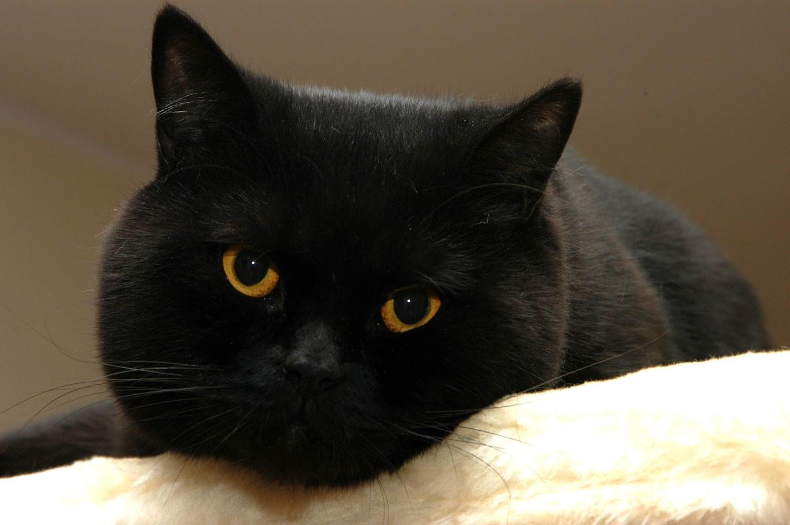 kot brytyjski w kolorze czarnym