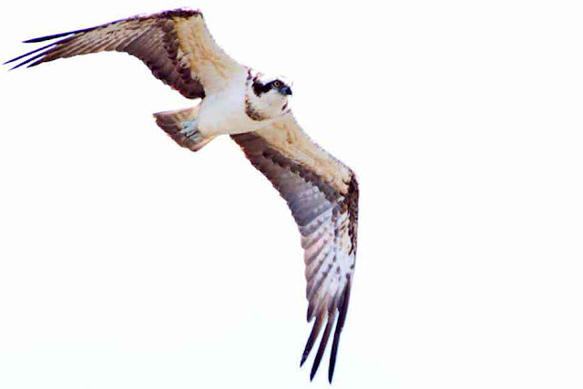 bird, Osprey, Pandion haliaetus, Yomitan, Okinawa