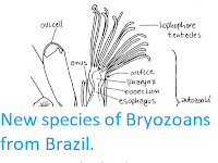http://sciencythoughts.blogspot.co.uk/2012/07/new-species-of-bryozoans-from-brazil.html