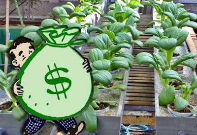 Biaya Yang Dikeluarkan Untuk Budidaya Hidroponik