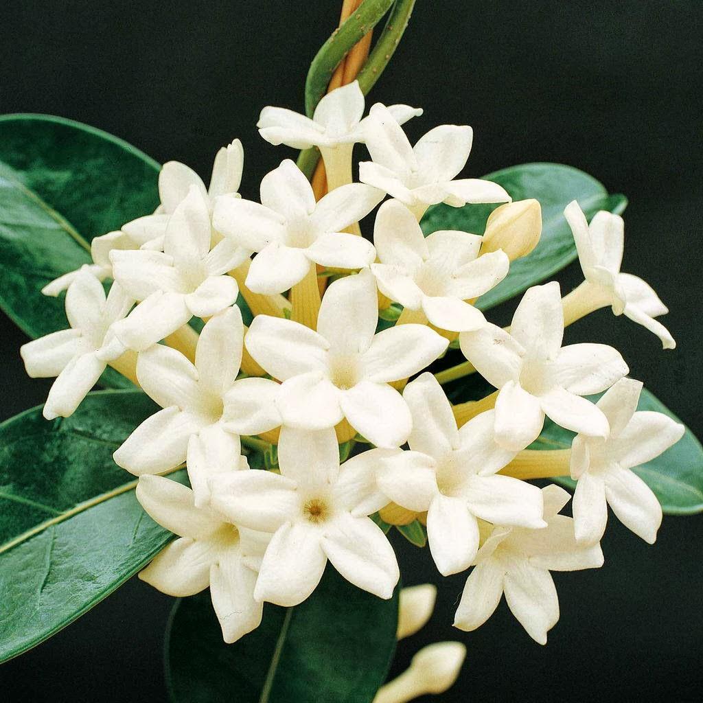 Garden Jasmine Flower For Desk Top Back Ground