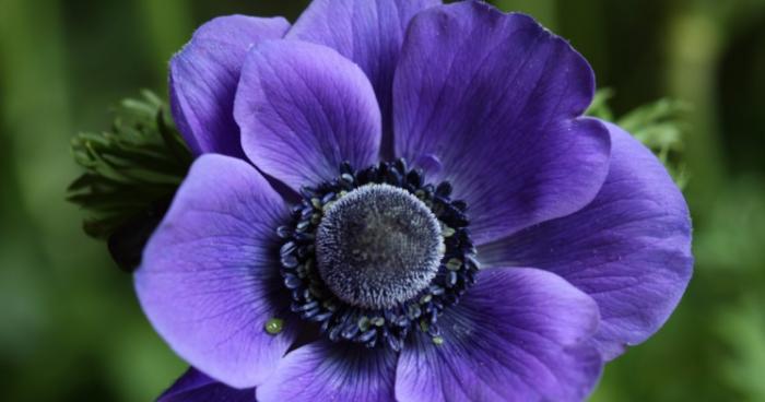 30 Bunga Tercantik Di Dunia