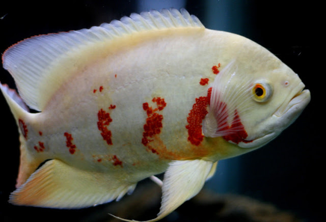 Dunia Ikan Hias - Ikan Air Tawar Oscar