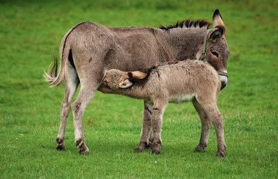 Klasifikasi Equus asinus
