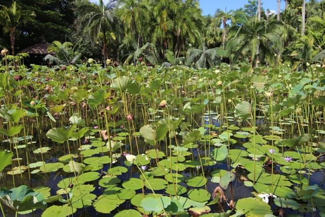 Flores de loto en Pamplemousses