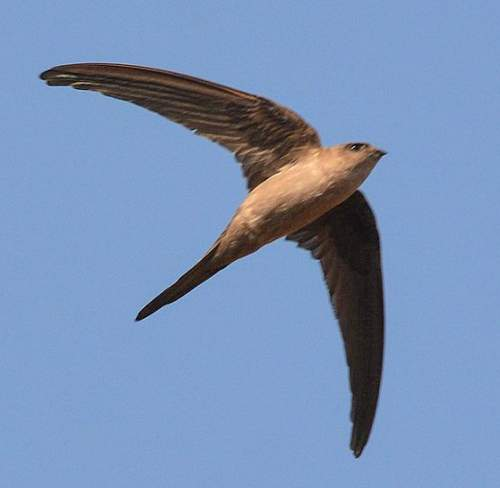 Indian birds - Picture of Asian palm-swift - Cypsiurus balasiensis