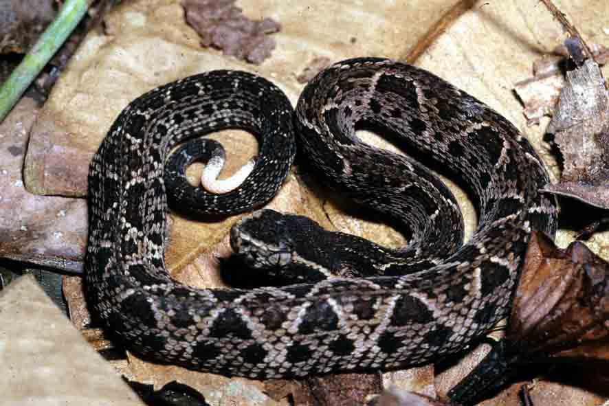 Cobra-Jararacuçu (Bothrops jararacussu)