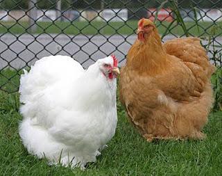 Cara Budidaya Ayam Cochin