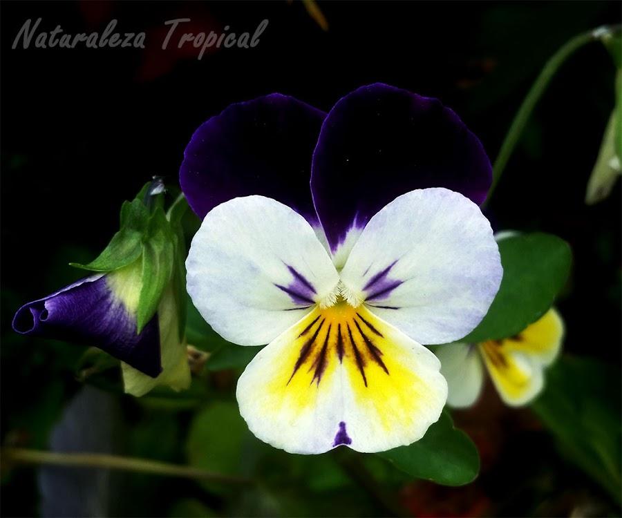 El Pensamiento salvaje, Viola tricolor