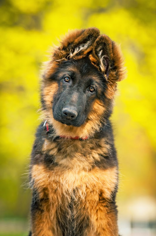 A GSD puppy against a yellow background
