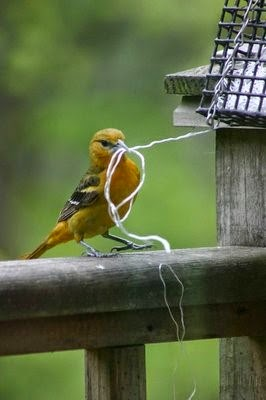 Oriole pulling out yarn for nesting material