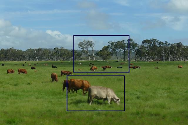 Kühe, Bildausschnitt, Weide, wiese, Australien, fotografieren, tipp,