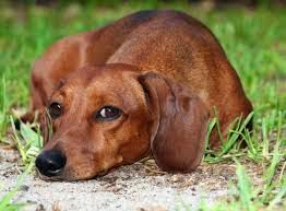 Everything about your Dachshund