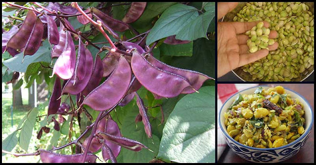 More Reasons To Eat Hyacinth Beans (Bataw)