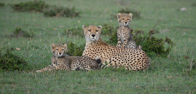 Estimates of cheetah numbers are 'guesswork,' say researchers