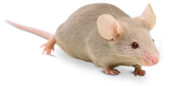 Natural Way To Rid Home Of Mice