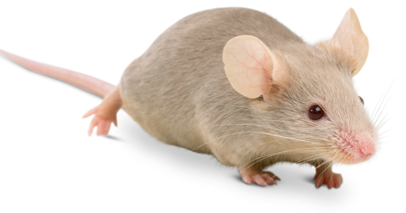 How To Get Rid Of Mice In Your House Mice Riddance