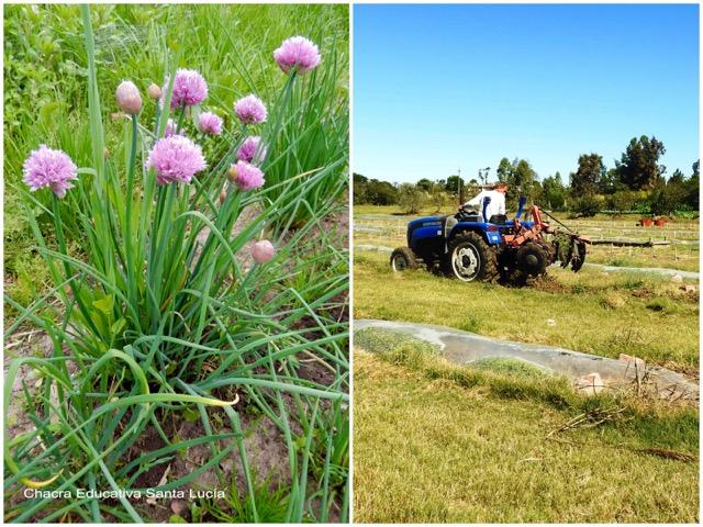 Ciboulette en flor / Trabajando los canteros con el tractor - Chacra Educativa Santa Lucía