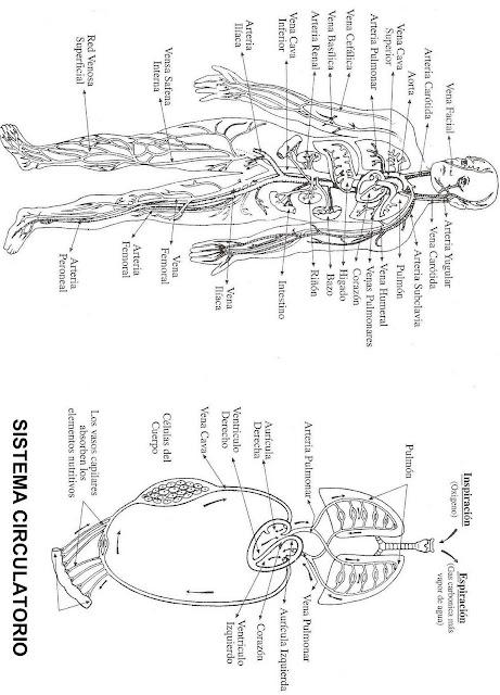 COLOREA TUS DIBUJOS: Sistema Circulatorio para colorear