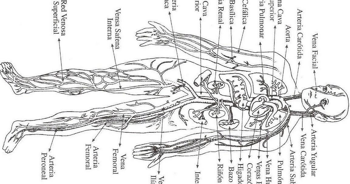 Dibujo Aparato Digestivo Para Colorear Imprimir: Sistema Circulatorio Para Colorear Con Sus Partes Aparato