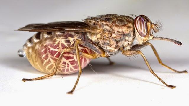 Lalat Tsetse lalat paling berbahaya di dunia