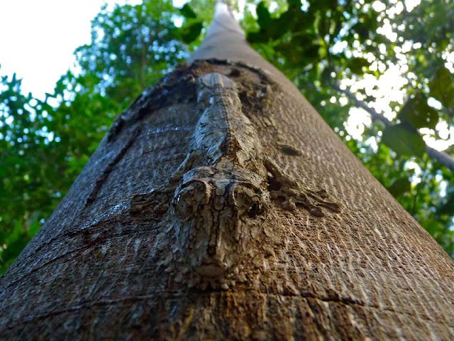Lagarto-de-Madagascar - Uroplatus sikorae