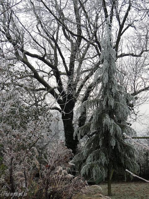 cèdre sous le gel en hiver