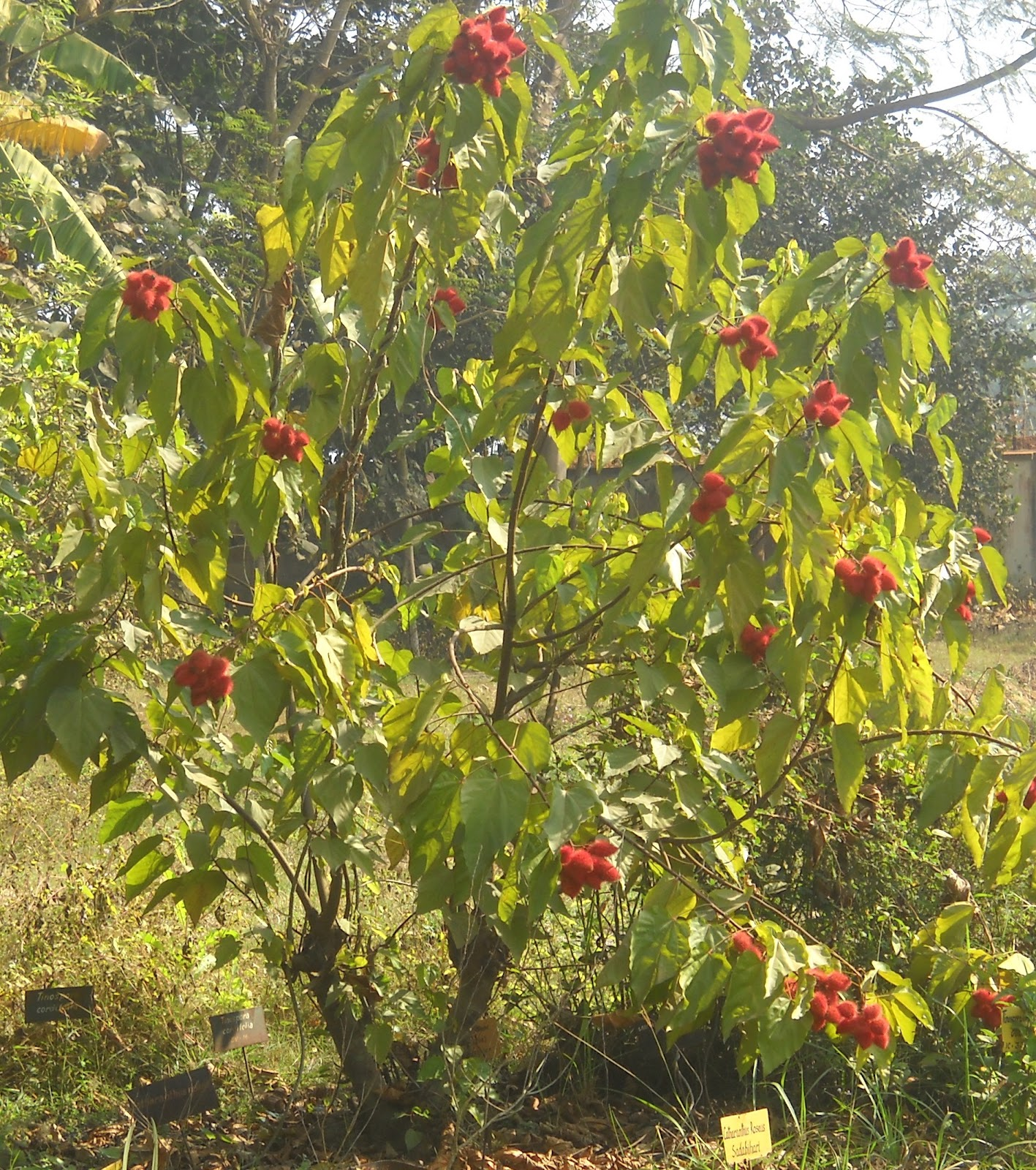 Which Plant Was Native To The New World: A Preliminary Study On Phytochemical Analysis Of Leaves Of