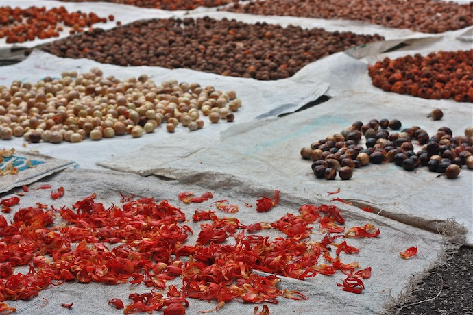 white and black nutmegs and red mace drying in the sun in balik pulau penang