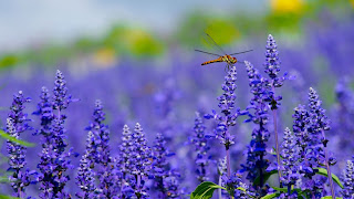 Close-up of a dragonfly perched on one flower in a field of purple flowers - Photo by Hisanari Kunimoto on Unsplash