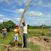 Aipim gigante surpreende agricultores do interior da Bahia
