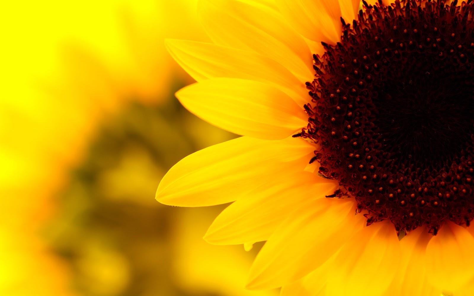 sunflower 8 wallpaper 1920x1080 -#main