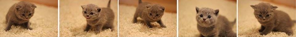 British Shorthair Kitten Development
