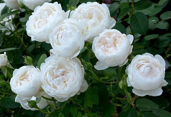 Glamis Castle сорт розы фото купить саженцы в Минске в питомнике