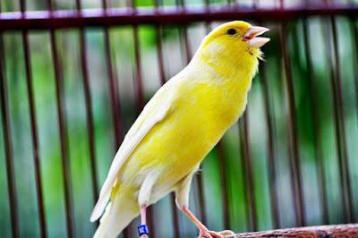 Cara Merawat Burung Kenari Agar Cepat Berkicau dan Gacor