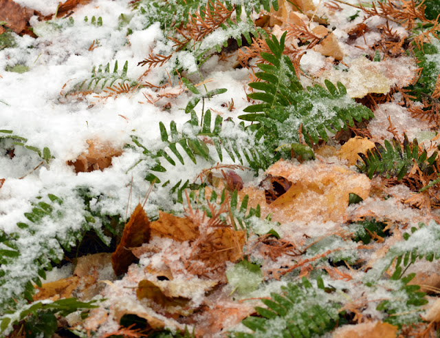 common polypody fern fronds in snow