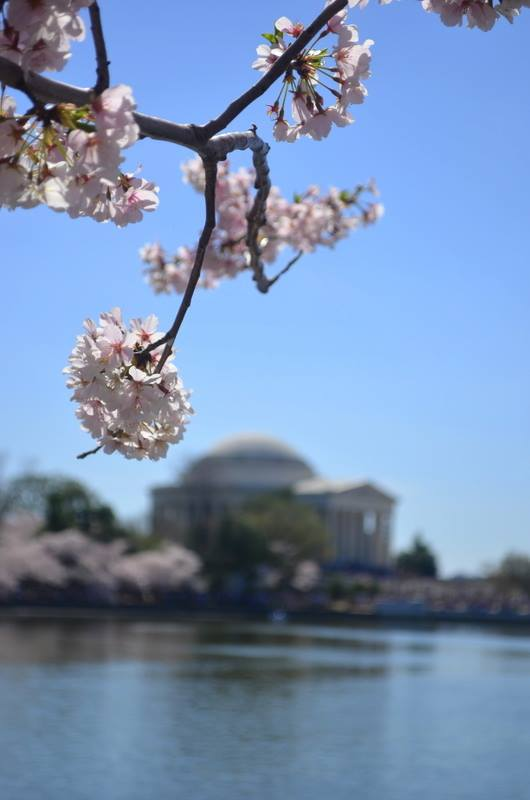 Sakura in front of the Jefferson Memorial in D.C. - April 2014