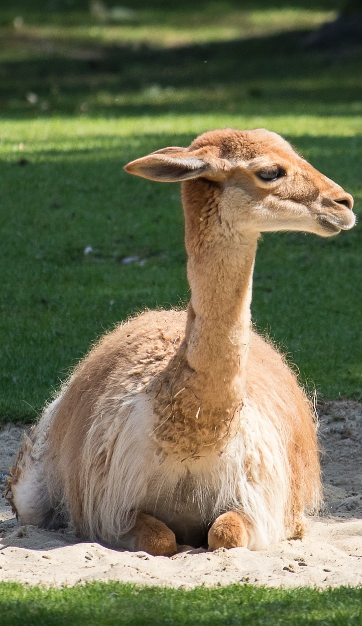 A vicuna sitting on the sand.