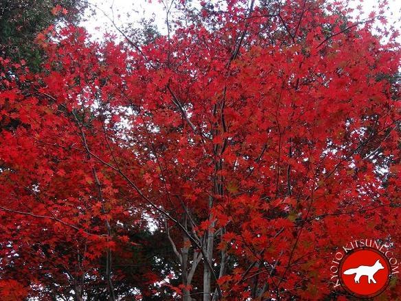 Érable en automne dans un temple à Kyoto au Japon
